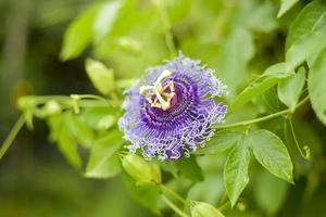 närbild av lila blomma blommar foto