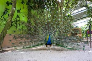 en påfågel visar fjädrarna foto