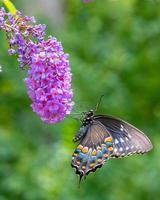 svart svalstjärtfjäril uppflugen på lila blomma av fjärilsbusken foto