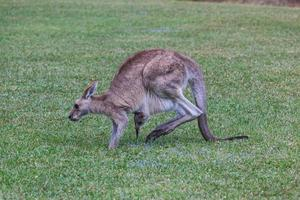 östra grå känguru macropus giganteus solsken kust universitet campus queensland australien foto