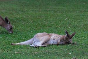 östra grå känguru macropus giganteus solsken kust Queensland australien foto