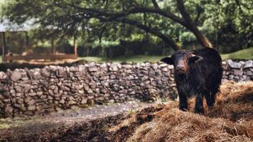 kalv njuter på en äng i sin naturliga miljö. foto