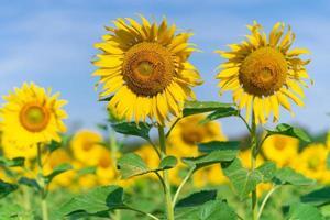 blommande solrosor på naturlig bakgrund foto