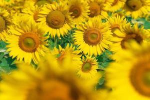 blommande solrosor naturlig bakgrund foto
