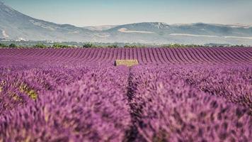 lavendel fält i Provence, Frankrike foto