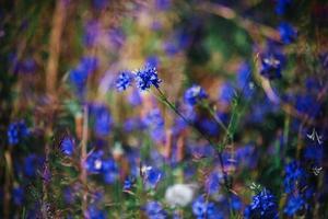 blåklinten i fältet blå blommar. bakgrund med blå blommor foto