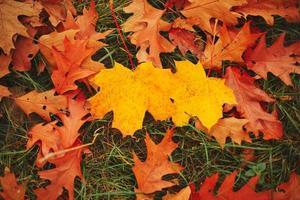 fallna gula och orange höstek och lönnlöv på grönt gräs på marken. höstens horisontalbakgrund med torkade löv i solljuset. selektivt fokus. foto