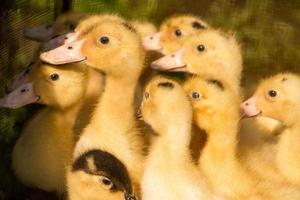 söta fluffiga små ankor nyfödda, grupp ankor spädbarn foto