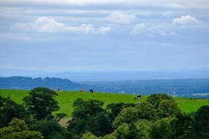 vacker scen av betande kor på lyme parkerar i toppdistriktet, Cheshire, Storbritannien foto