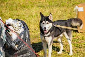 hund i koppel nära sopor. problemet med träning av husdjur. djuret letar efter mat i papperskorgen. foto