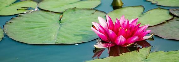 rosa lotus i klart vatten. vackra näckrosor i dammen. asiatisk blomma - en symbol för avkoppling. foto