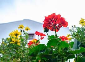 blommor i monreal, Eifel-regionen, Tyskland foto