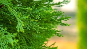 gran gren vacker gren av gran med nålar. julgran i naturen grön gran på nära håll foto