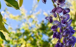 blommande kinesisk blåregn närbild på våren. foto