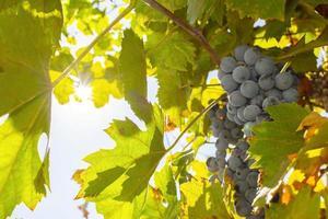 blå druvor på hösten i solskenet. foto