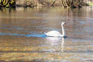 vit svan simmar på sjön i parken foto