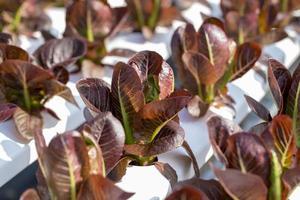 röd cos sallad lämnar sallader grönsaker hydroponics gård foto