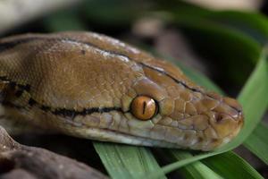 boa porträtt boa constrictor orm på trädgren foto