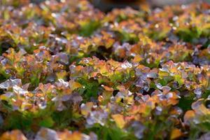 färsk röd ek sallad lämnar sallader grönsaker hydroponics gård foto