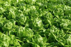 färsk butterhead sallad lämnar sallader vegetabilisk hydroponics gård foto