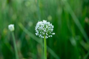 blommande lökväxt i trädgårdsnärbild av vita lökblommor på sommarfält foto