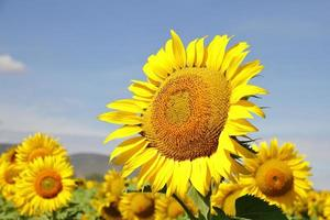 unga färska vackra ljusgula solrosor foto