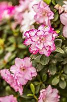 bakgrund från rosa rododendronblommor. vårblomning foto