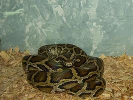 reptil python molurus av medelåldersuppfödning foto