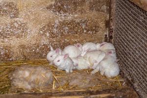 små vita kaniner med röda ögon foto