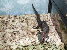 avla liten shinco-krokodil i sitt utställningsfodral foto