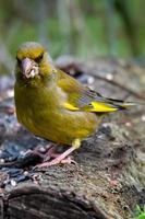 grönfink fågel sitter på en gren foto