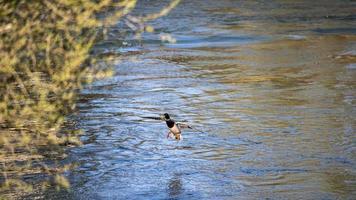 gräsand vatten fågel på floden foto