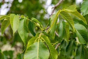 valnötfrukten foto