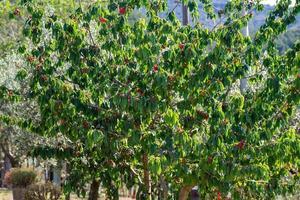 gråter av nyodlade röda körsbär foto