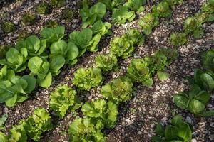 växande luttaga plantage för livsmedelsanvändning foto