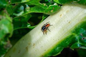 salticidae philaeus chrysops foto