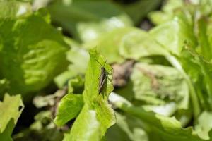 en svart cricket på sallad foto