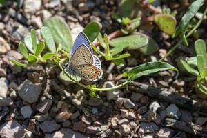 polymmatus iacarus fjäril vilar på marken foto