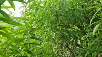 grön och doftande citronväxt foto