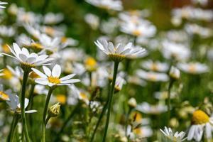 prästkragar blommar för beredning av infusion av kamomill foto
