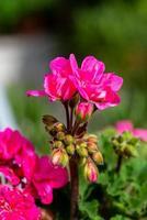 trädgårds pelargonen foto