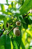mandelträdet foto
