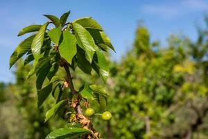 körsbärsträdet foto