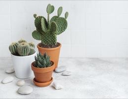 kaktusar och suckulenta växter i krukor på bordet foto