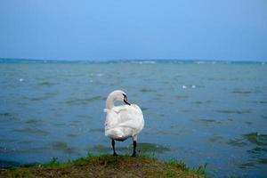 vit svan som står till sjöss foto