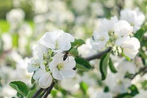 bi och äppelträd blommor foto