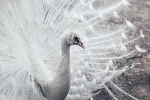 närbild av vit påfågel med fjädrar ut foto