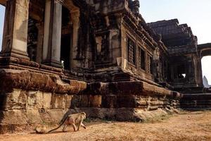 apa som går nära templet i Angkor Wat-komplexet, Kambodja foto