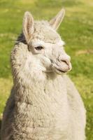 närbild av en lama i arequipa, peru foto