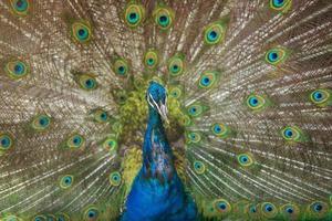 påfågel som visar sina vackra fjädrar foto